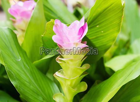 siam tulip flower or curcuma alismatifolia