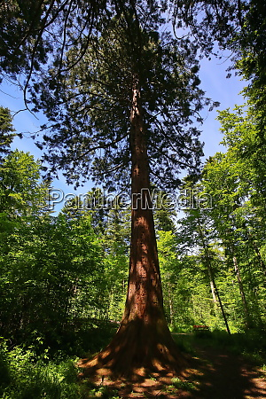 sequoia in the environment of sulz