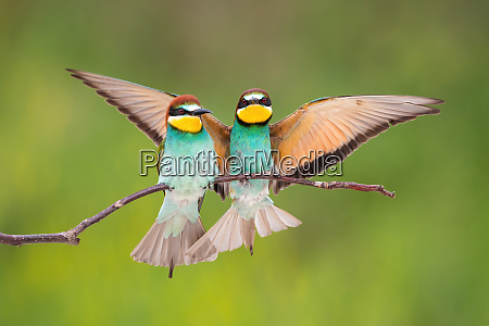 two european bee eater sitting on
