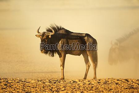 blue wildebeest in dust at sunset
