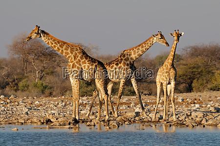 giraffes at a waterhole etosha