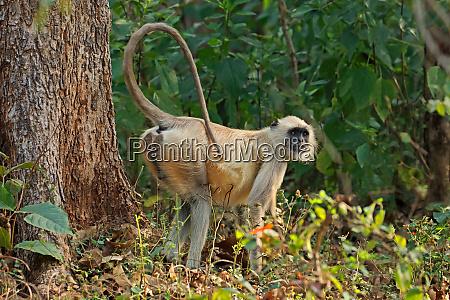 gray langur monkey in natural habitat