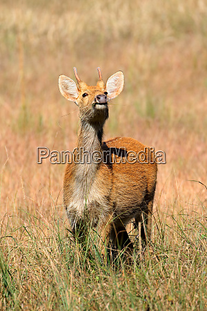 male barasingha or swamp deer