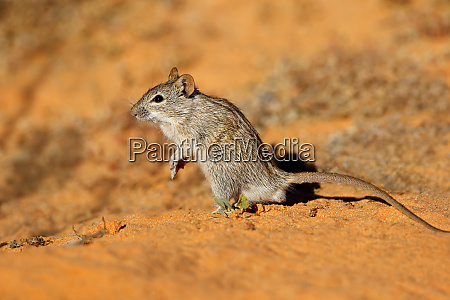 striped mouse in natural habitat