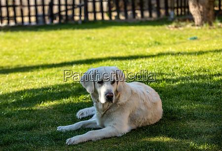 beautiful golden retriever on green grass