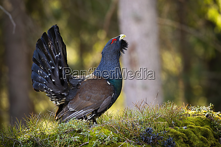male western capercaillie lekking in forest
