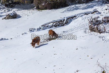 cows at the mountain with snow