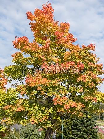 colourfull maple in autumn