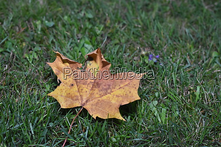 fallen maple leaf in autumn