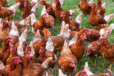 many chicken on a meadow