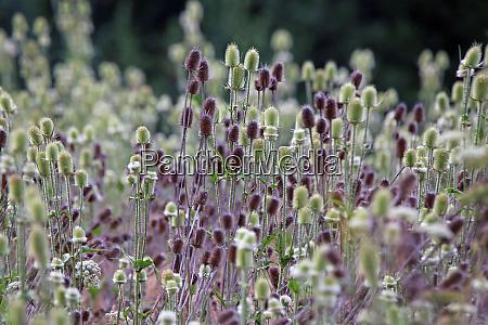 inflorescences wild card dipsacus fullonum