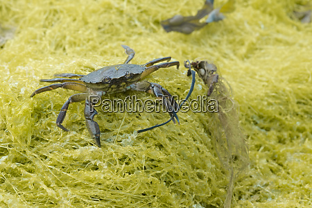 on yellow seaweed a european green