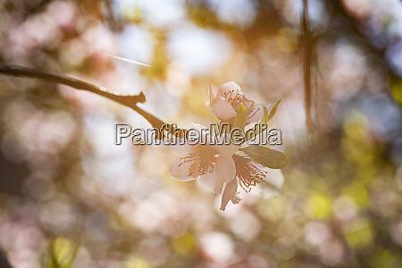 peach flower in spring 15