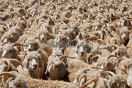 angora goats in a paddock