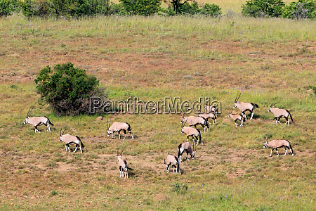 gemsbok antelopes in natural habitat