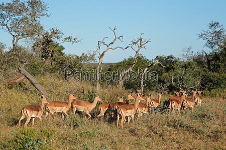 herd of impala antelopes