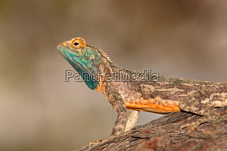 male ground agama kalahari desert