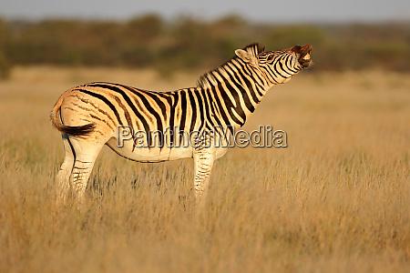 plains zebra standing in grassland