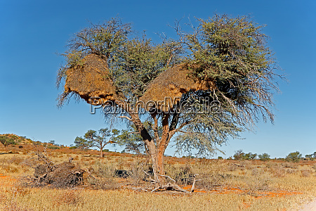 thorn tree and large weaver nest