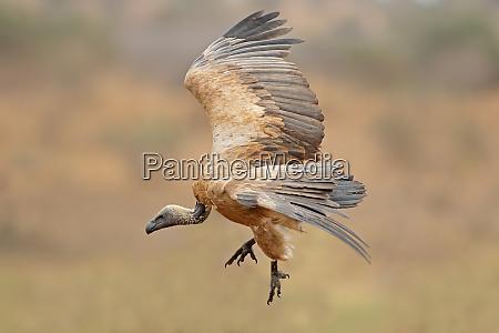 white backed vulture landing