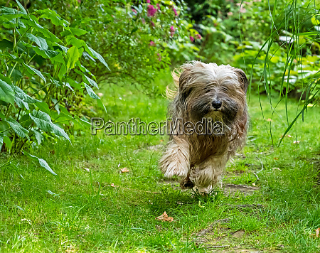 tibetan terrier running in the garden