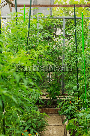 cultivation of vegetables and tomatoes in