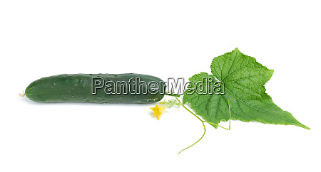 whole green oblong cucumber green leaf