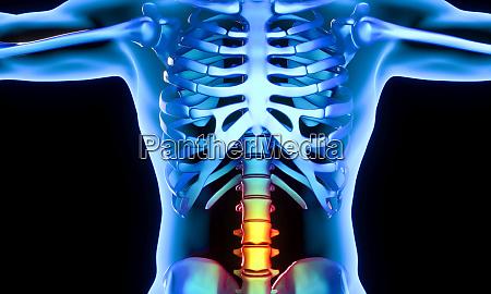 lumbar part of the vertebrae which