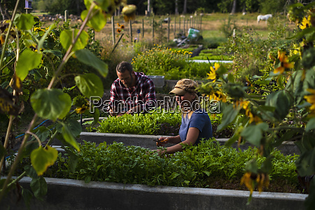 farmers tending to vegetable garden