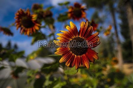 close up vibrant orange sunflower