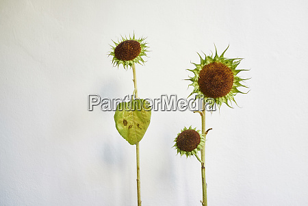green sunflowers against white background