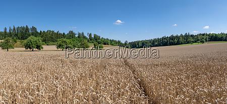 ripe wheat grain field with lane