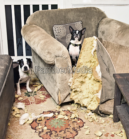 portrait mischievous boston terriers caught chewing