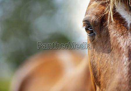close up portrait wild brown horse
