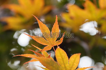 acer palmatum yellow orange coloured leaf