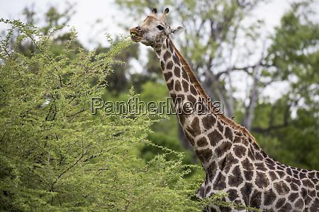 giraffe moremi game reserve botswana