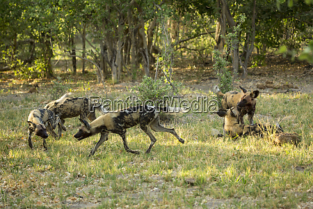 a pack of wild dogs in