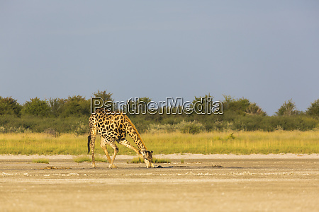 a giraffe crossing open ground at