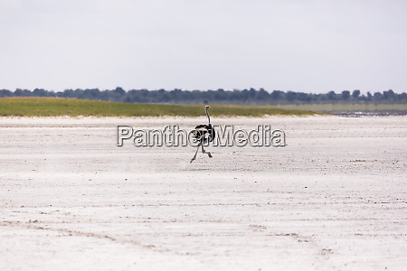 ostrich running on nxai pan botswana