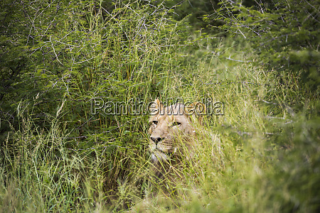 a female lion partially hidden in