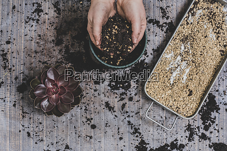 person potting up small succulent plants