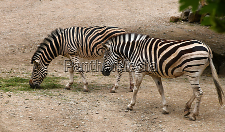 two zebras are eating grass