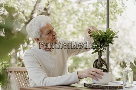 senior man pruning bonsai plant