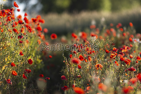 red poppies growing in field