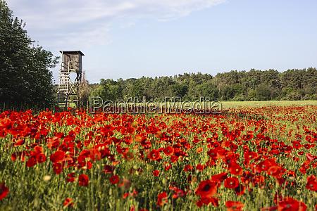 hunting blind in poppy field
