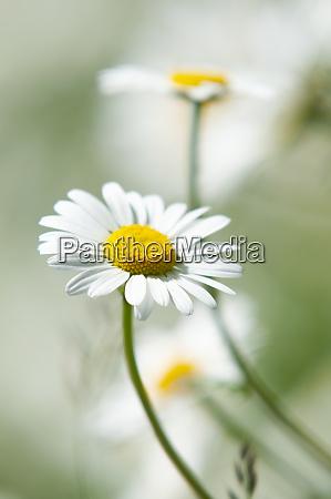 oxeye daisy in bloom