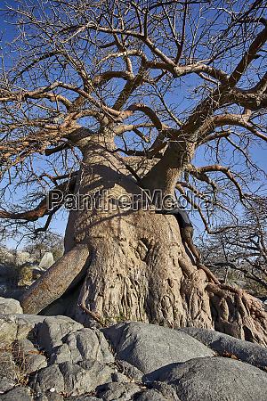 man hugging old baobab tree makgadikgadi