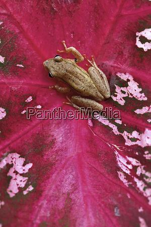 brown frog sitting on red leaf
