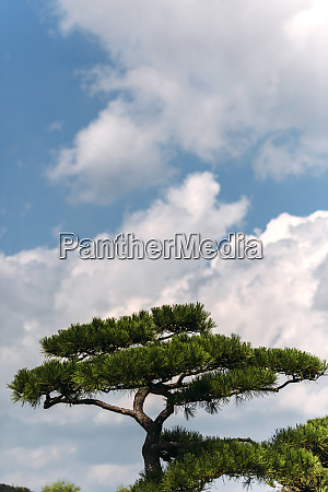 white clouds over japanese pine tree