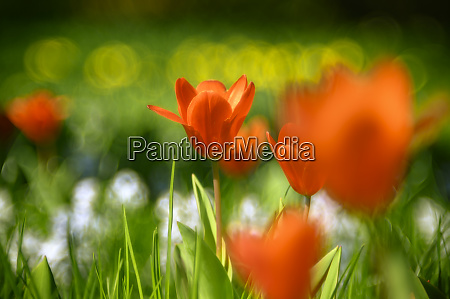 red tulips blooming in meadow